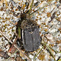 Northern Carrion Beetle - Thanatophilus lapponicus