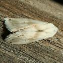 Moth - Eublemma minima