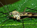 Pachyneurid Fly - Cramptonomyia spenceri - male