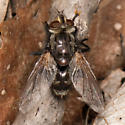 Tachinomyia? - male
