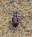 Cicindela scutellaris lecontei - Cicindela scutellaris