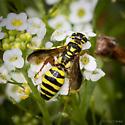 Thynnidae- Thynnid Wasp - Myzinum maculatum - female