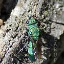 Cuckoo Wasp - Chrysura