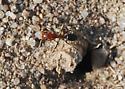 Smaller ant, found near harvesters, needs ID - Dorymyrmex
