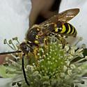 Wasp 2012.03.15.15515 - Nomada