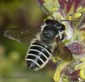 Megachilid bee pollinating Cordylanthus flowers - Megachile brevis - female