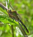 Ophiogomphus incurvatus incurvatus - Ophiogomphus incurvatus - female