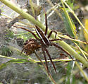Six-spotted fishing spider (Dolomedes triton) ??? - no - it is a Nursery Web Spider (Pisaurina brevipes) - Pisaurina brevipes