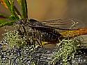 Cicada, Platypedia sp. ? - Okanagana