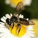 Leaf-cutter bee - Megachile relativa