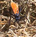 Orange-winged spider wasp - Pepsis