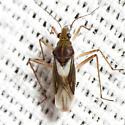 Water Treading Bug - Mesovelia mulsanti