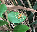 A blurry Camptonotus carolinensis - Carolina Leaf-roller? - Camptonotus carolinensis - male