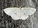Sweetfern Geometer - Cyclophora pendulinaria - female