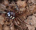 cobweb spider - Asagena medialis