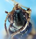 Bembidion mimus - Bembidion versicolor