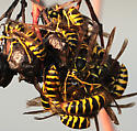 insects - Vespula maculifrons