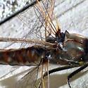 Dragonfly - Sympetrum corruptum - female