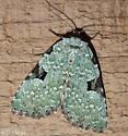 Green Leuconycta - Hodges#9065 (Leuconycta diphteroides) - Leuconycta diphteroides