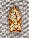 Yellow moth - Acleris santacrucis
