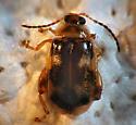 Chrysomelid - Capraita scalaris