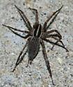 Agelenidae - Agelenopsis