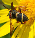 cuckoo bee Epeolus bifasciatus? - Epeolus bifasciatus
