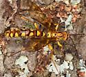 Ichneumon - Megarhyssa greenei - female