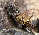 Habronattus hirsutus and prey - Habronattus hirsutus - female