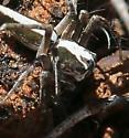 spider, green, gray, white dorsal stripe - Oxyopes