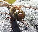 Mottled Darner dragonfly ? - Aeshna clepsydra - female