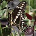 Giant Swallowtail...but Eastern or Western? - Papilio cresphontes