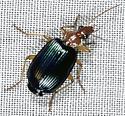Ground Beetle - Lebia grandis