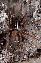 spider under small log - Allocosa - female