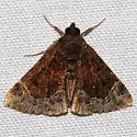 Unknown Moth - Hypena abalienalis