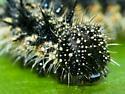 Colorful Caterpillar - Aglais milberti