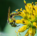 Sweat Bee Augochlora pura? - Augochlora pura