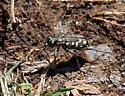 Tiger Beetle - Cicindelidia haemorrhagica