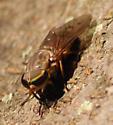Striped Horse Fly on Honeylocust Trunk
