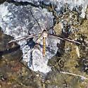 Tipula noveboracensis? - Tipula
