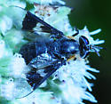 Deer Fly caught by Ambush Bug carbonarius group - Chrysops - female