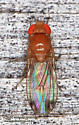 Drosophila suzukii ? - Drosophila suzukii - male