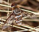CA Bee Fly - Exoprosopa