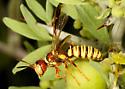 Eucerceris wasp ? - Eucerceris canaliculata