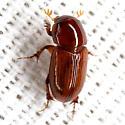 Aphodiine Dung Beetle - Aphodius aegrotus