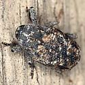 Snout Beetle - Cophes oblongus