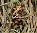 Canopy Jumper - Phidippus otiosus - female