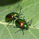 Green and red beetles - Chrysochus auratus