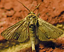 Moth - Paectes abrostoloides - male