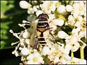 unk fly - Palpada agrorum